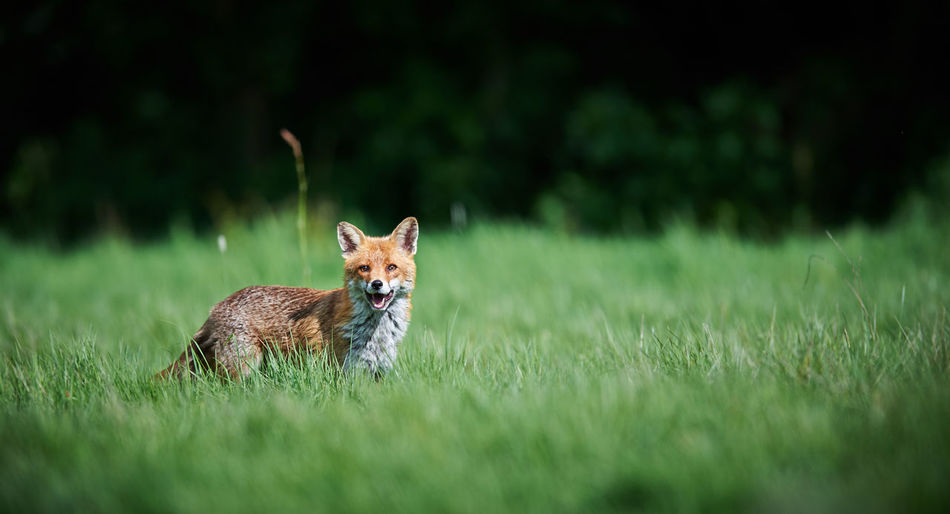 Side View Of Fox Standing On Grassy Field