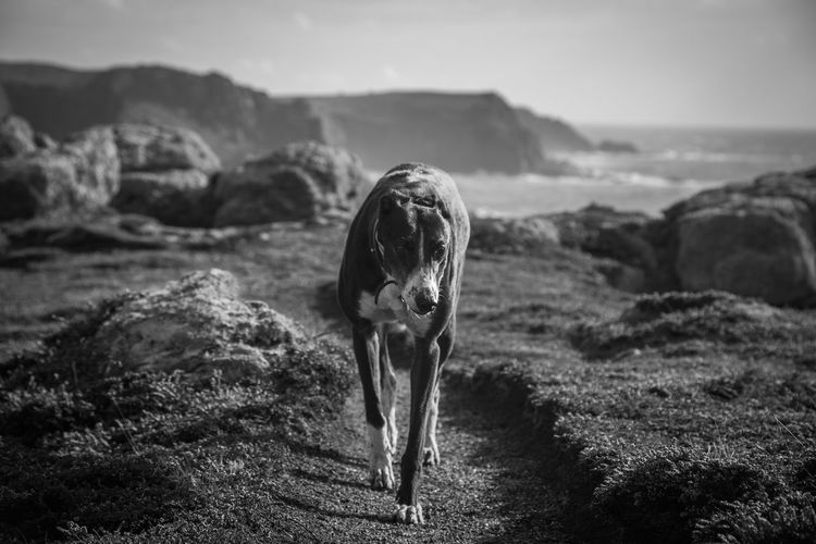 A greyhound goes for her walk along the clifftops at Lands End in Cornwall, United Kingdom. Beauty In Nature Black & White Black And White Black And White Photography Black&white Blackandwhite Blackandwhite Photography Coast Coastal Coastline Dog Dogs Dogslife Greyhound Horizon Over Land Landscape Landscape_Collection Landscapes Nature Non-urban Scene Outdoors Remote Scenics Tranquil Scene Tranquility