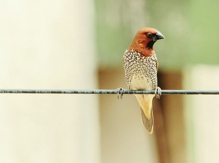 Birds Of EyeEm  First Eyeem Photo of Bird Canonphotography Peace And Quiet Scaly Brested Munia