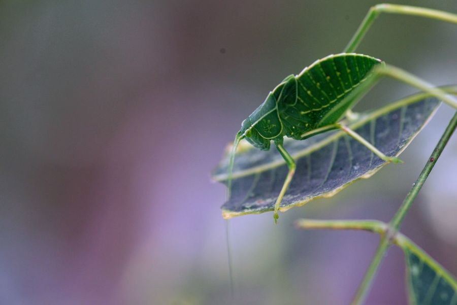 Katydid Neem Animal Themes Animal Wildlife Animals In The Wild Beauty In Nature Close-up Day Focus On Foreground Green Color Insect Katydid Katydids Leaf Nature Neem Leaves Neem Tree No People One Animal Outdoors Plant
