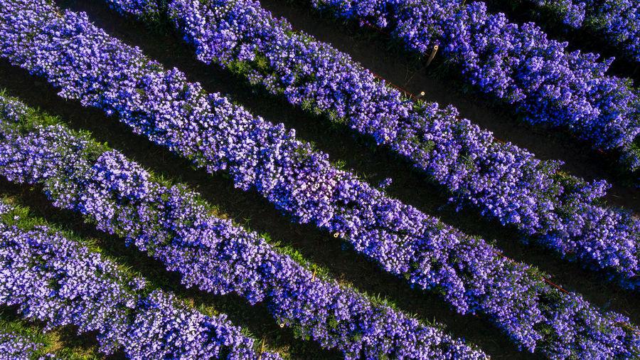 Full frame shot of purple flowering plant on field