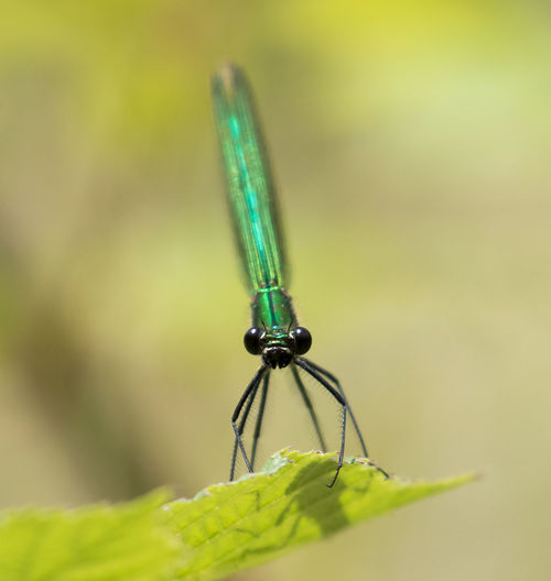 A female Banded Demoiselle Banded Demoiselle Close-up Damselfly Day Demoiselle Focus On Foreground Green Green Color Macro Nature No People Outdoors Selective Focus Sharp