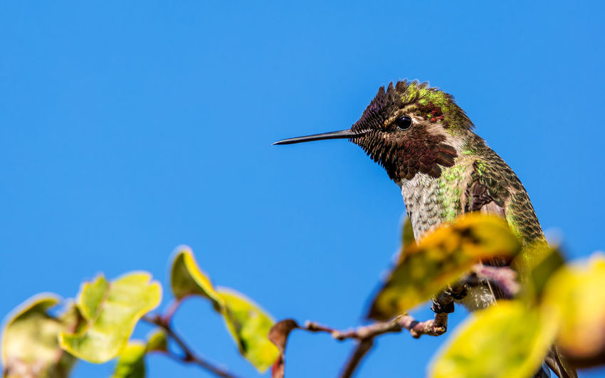 Close-up of hummingbird perching on tree against clear blue sky