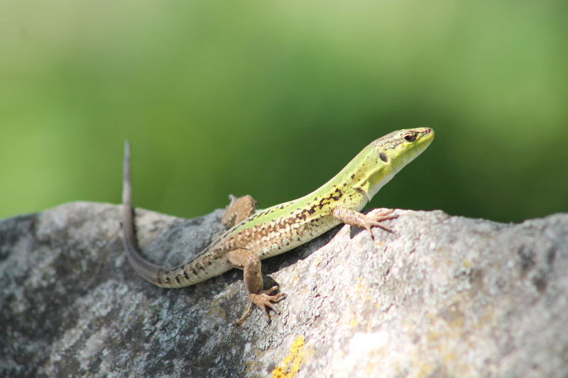 Animal Animal Themes Beauty In Nature Close-up Green Color Istria Motovun Lizard Loveistria Nature No People Outdoors Wildlife