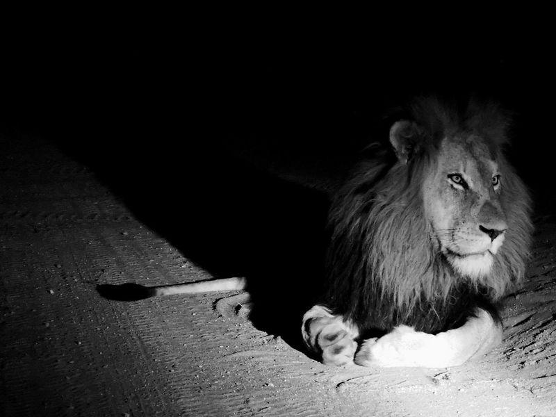 Animal Themes Mammal Animals In The Wild Outdoors Game Drive Animal Wildlife Big Cat Lion King  Wildlife Photos Black And White Animals At Night Night Africa Bushveld Big 5 Amateur Photographer Amateur Shot Beautiful World Kapama wildlife photography