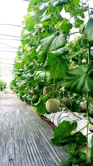 Rockmelon Agricultural Land Fresh Produce
