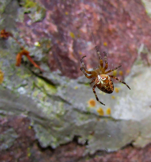 Araneus diadematus Animal Animal Themes Animal Wildlife Animals In The Wild Arachnid Arthropod Close-up Day Fragility Insect Invertebrate Macro Nature No People One Animal Outdoors Plant Selective Focus Spider Spider Web