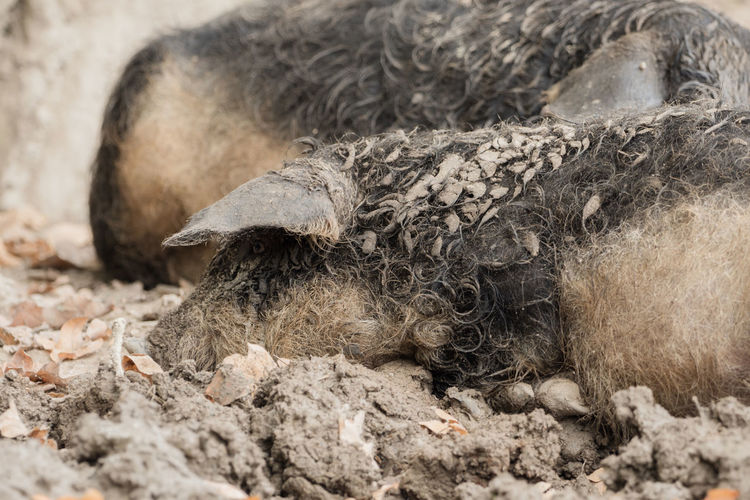 A pig is sleeping in the mud Farm Ham Pork Animal Themes Brown Close-up Day Domestic Domestic Animals Ears Farming Food Livestock Mammal Meat Nature No People One Animal Outdoors Park Pig Sleeping