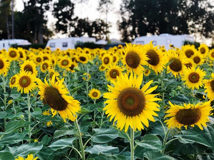 Sunflower garden and caravan park scenery blurred Yellow Plant Flower Flowering Plant Growth Flower Head Sunflower Beauty In Nature Nature Vulnerability  Freshness Close-up No People Inflorescence Botany Day Fragility Petal Focus On Foreground Land
