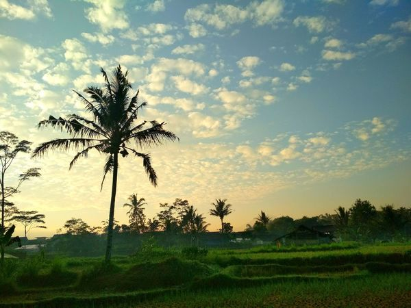 Silouette Plant Sky Tree Beauty In Nature Cloud - Sky Tranquility Tranquil Scene Field Environment Landscape Sunset Growth Scenics - Nature Nature Land Grass No People Non-urban Scene Idyllic Agriculture Multi Colored Botany