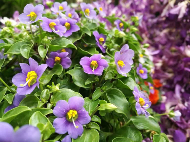Flower Nature Beauty In Nature Plant Purple Blooming Close-up No People Flower Freshness