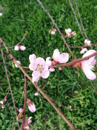 spring Blooming Peach Tree Peach Flowers Flower Head Flower Tree Branch Pink Color Springtime Close-up Plant