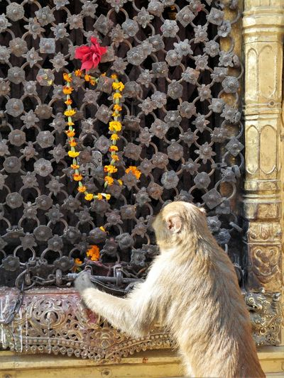 even monkeys pray Shrine Outside Offers No People Monkey Animal Nepal Monkeytemple Sacred Places Travels Wanderlust Traveling Temple Beautiful Amazing Colors Stupa Day