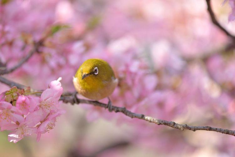 Japanese white-eye amongst cherry blossom