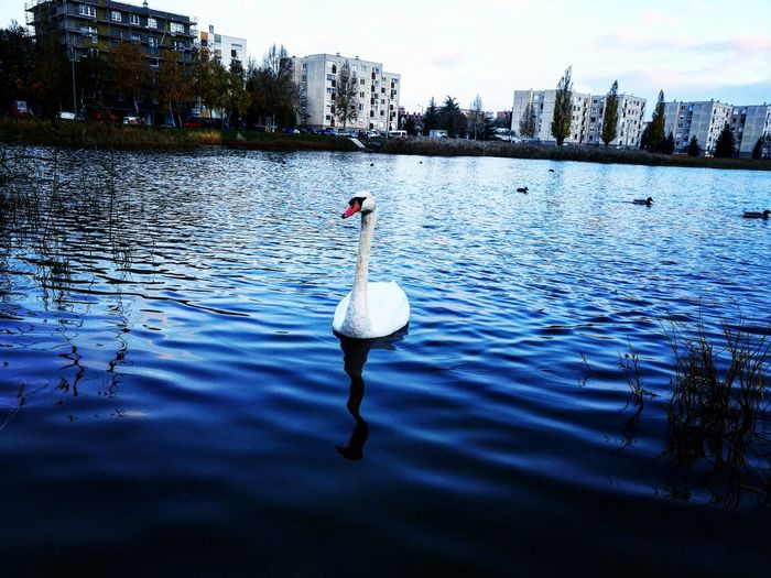 Water Lake Outdoors Győr Swan Lake Swans Swimming First Eyeem Photo