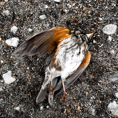 A dead redwing (Turdus iliacus) that didn't make it after the migration. Such brutal contrast to all birds singing during the spring. Redwing Bird Spring