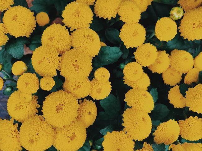 Chrysanthemum flower Flower Flower Head Flower Collection Yellow Flower Shotononeplus6 Nature_collection Naturelovers Flora Flowers Yellow Backgrounds Full Frame UnderSea Close-up Blooming