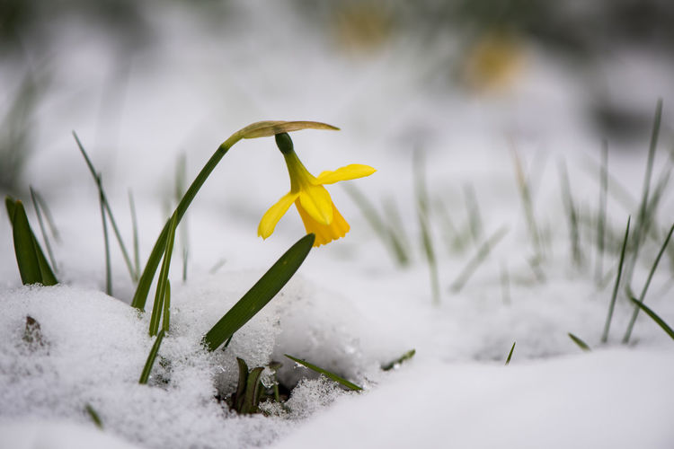 This is bad... Freshness Grass Growth Low Angle View Nature Single Flower Spring? Today's Weather Report Beauty In Nature Botany Close-up Cold Temperature Daffodil Daffodils Flower Flower Head Flowers Fragility Narcissus No People Outdoors Snow Snow Covered Springtime Yellow