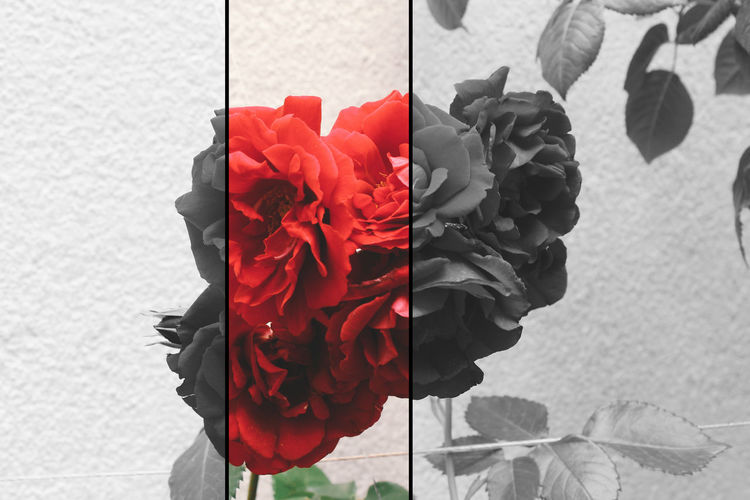 Beauty In Nature Black And White Black White And Color Blooming Color Colorful Colors Flavor Flower Flower Head Fragility Freshness Nature Odor Perfume Petal Petals Red Red Rose - Flower Roses Rosé VSCO