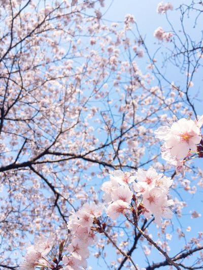 Blooming Sakura2018 Spring Has Arrived Cherry Blossom Flower Blossom Springtime Tree Cherry Tree Pink Color