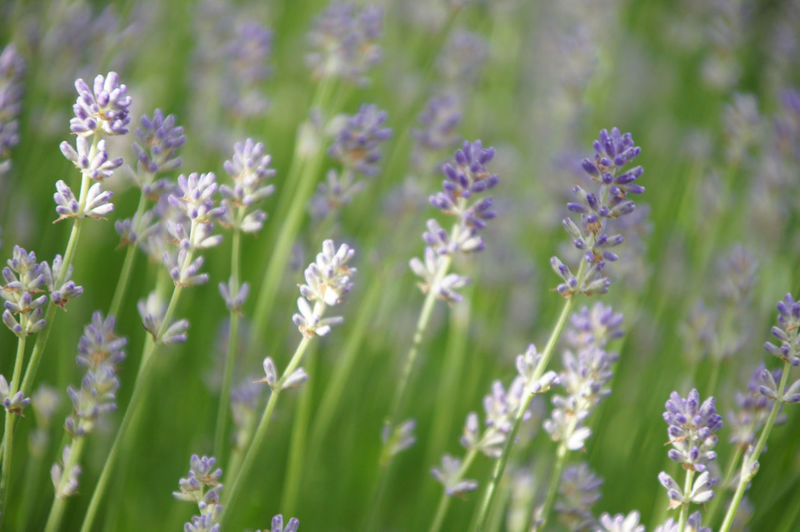 Shadows and Light with Lavender Shadows & Lights Light And Shadow Flowering Plant Flower Plant Vulnerability  Fragility Beauty In Nature Growth Close-up Selective Focus No People Nature Petal Day Purple Lavender Flower Head Outdoors Lavender Flowers