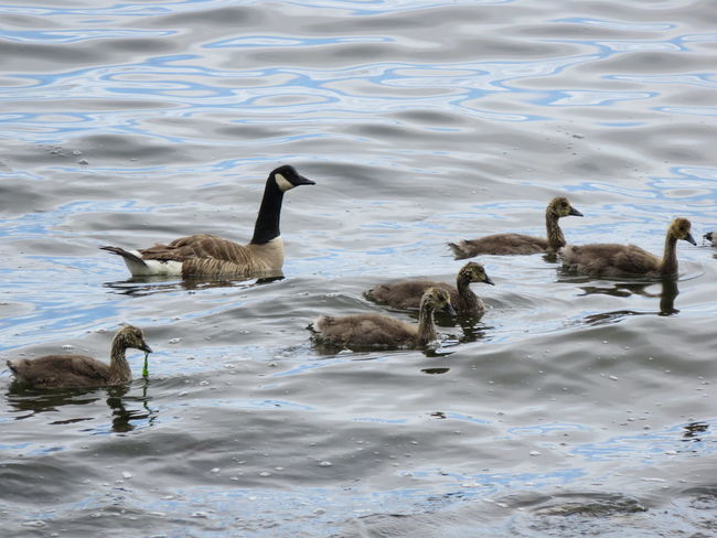 Goose Family Canada Goose Family Dinner Geese Geese Family Gosling Brood Goslings Strait Of Juan De Fuca Animals In The Wild Bird Geese Photography Goose Gosling Waterfront Young Animal Young Bird