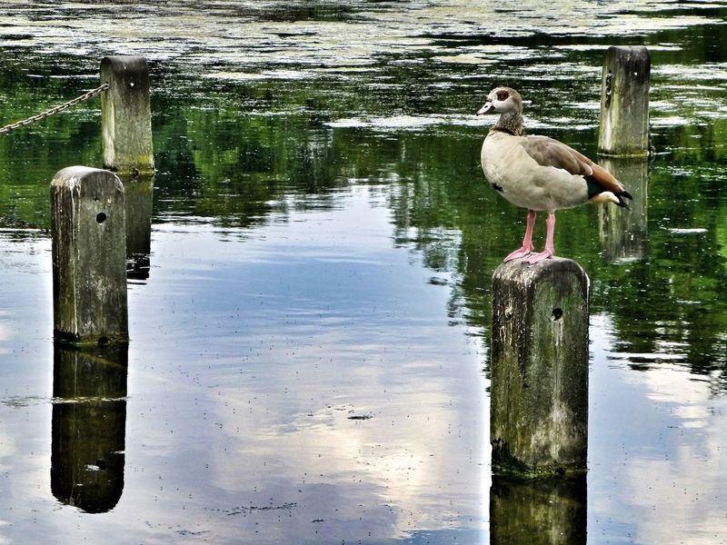 The Serpentine London Birds Reflections In The Water Egyptian Goose Bird Bird Photography Birds_collection Birdwatching Water Reflections Water Reflection London Parks Parks Nature Nature_collection Nature Photography Naturelovers Pmg_lon