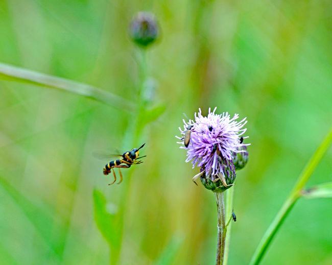 Beeren und mehr Blume Fliege Flower Fly Lila Lilac Nature Plant Planzen