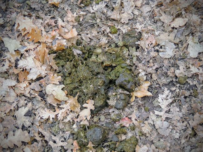 Horse dung close-up for background, detailed, on the dirt horseback trails through trees on the Yellow Fork and Rose Canyon Trails in Oquirrh Mountains on the Wasatch Front in Salt Lake County Utah USA. Agriculture Bull Muck Poop Ugly Animal Background Brown Bullshit Close-up Concept Droppings Dung Excrement Feces Fertilizer Horse Manure Poo Smell Stink