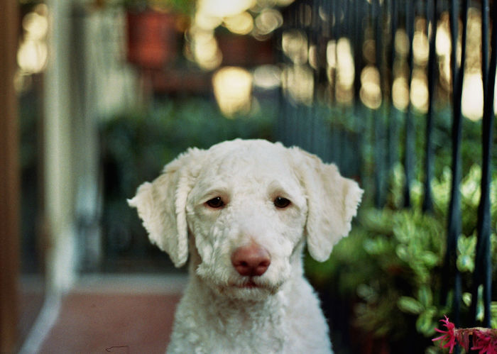 Analog Analogue Analogue Photography Animals Dog Dog Love Domestic Animals EyeEm Best Shots EyeEm Gallery EyeEm Nature Lover EyeEmBestPics Lagotto Lagotto Romagnolo Portrait