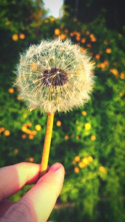 Human Hand Holding Dandelion Beauty In Nature Outdoors Close-up Freshness Beauty Of Nature