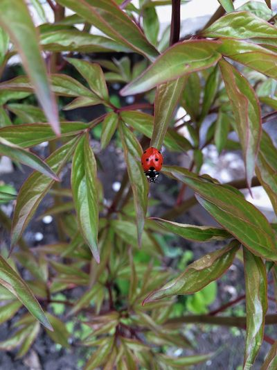 One Animal Insect Ladybug Animals In The Wild Animal Themes Wildlife Red Leaf Plant Nature Day Growth No People Tiny Outdoors Green Color Close-up