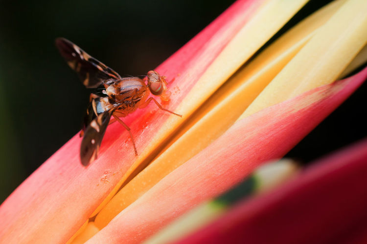 Macro photography showing a fruit fly Beauty In Nature Close-up Day Detail Flower Focus On Foreground Fruit Fly Insect Macro Nature No People Outdoors Petal Pink Color Red Selective Focus