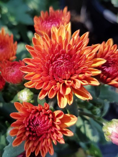 Top view of orange chrysanthemum flower Orange Color Chysanthemun Flower Head Flower Red Petal Close-up Blooming Plant Pollen In Bloom Blossom Botany Plant Life