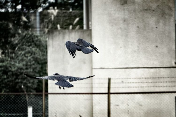 Crows Flying In City