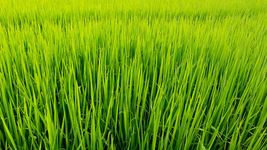 Nature Growth Green Color Backgrounds Agriculture Day Freshness Field Plant Cereal Plant Beauty In Nature Rice Paddy Food Thailand_allshots Rice - Cereal Plant Green Background Plant Agriculture Grass Rice Field Rice - Food Staple Outdoors No People Green Color Nature Beauty In Nature Growth