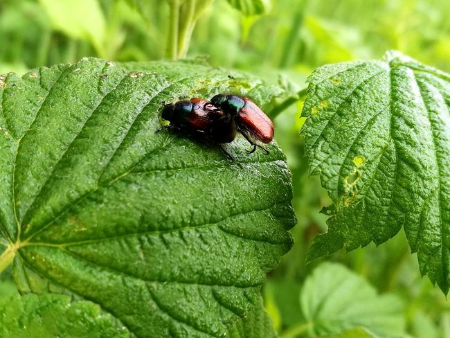 Insect Leaf Green Color Animals In The Wild Close-up Outdoors Plant Beetles Beetles Life HuaweiP9 Huaweiphotography HuaweiP9Photography Huawei P9 Leica Beetles On Leaf Beauty In Nature Focus On Foreground Nature