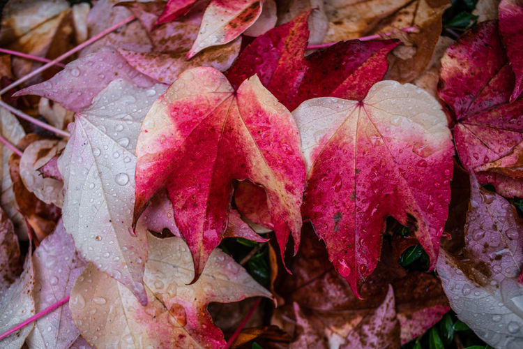 Close-up of wet autumn leaves on rainy day