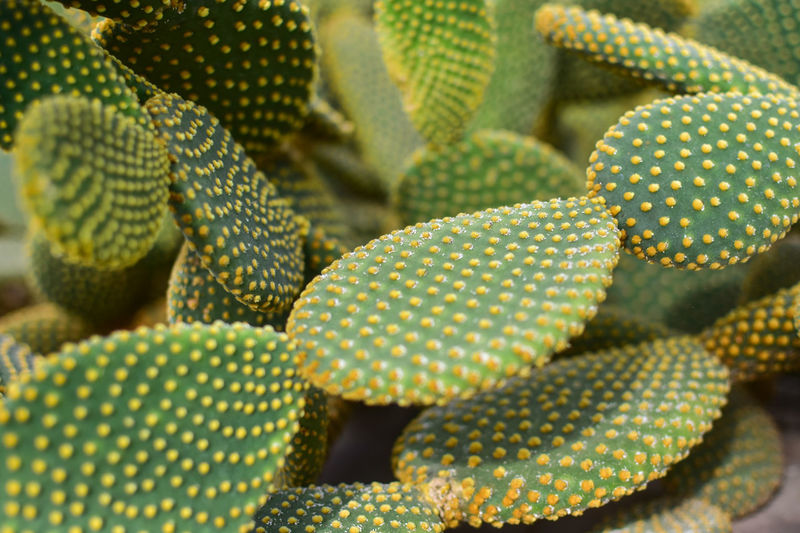 Backgrounds Beauty In Nature Cactus Close-up Day Freshness Full Frame Green Color Growth High Angle View Natural Pattern Nature No People Outdoors Pattern Plant Still Life Succulent Plant Textured  Yellow