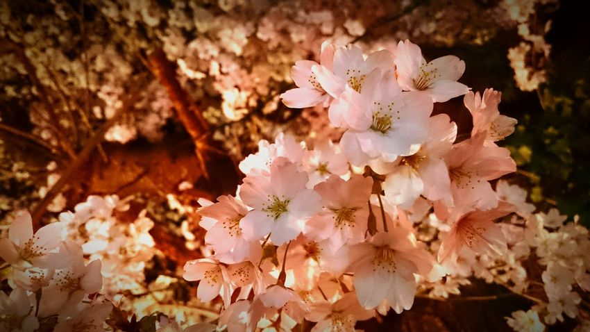 Night View Springcollection Spring Flowers Cherry Blossoms Nightphotography