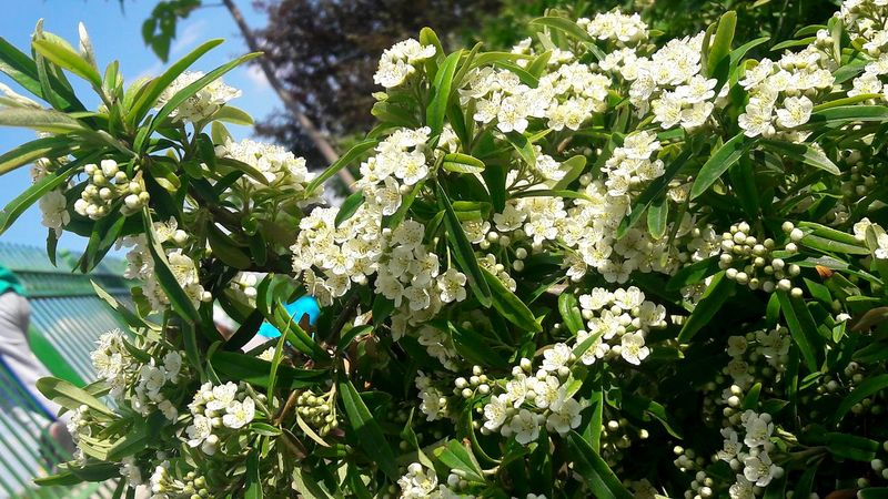 Hedge çit Bitkileri No Filter Hi! Sincan White Flower Flowers Plants Plants And Flowers No Filter Needed Plant Kırmızı Meyveli Red Berry Diken Ateş Dikeni Pyracantha Tree