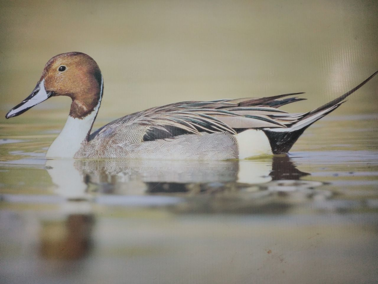bird, animals in the wild, animal themes, one animal, reflection, animal wildlife, duck, water, no people, lake, close-up, day, swimming, nature, outdoors
