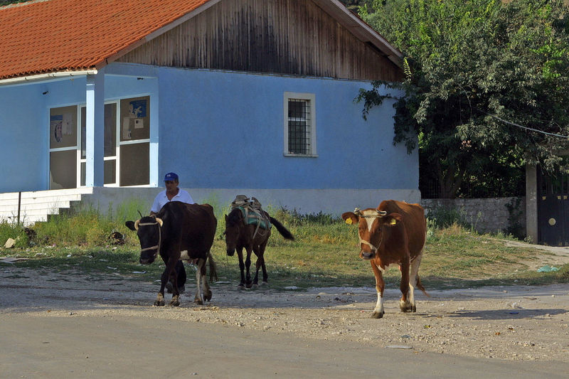 Albanian shepherd with his cows ALBANIA❤️ Albanian Animal Themes Architecture Building Exterior Built Structure Cows Day Domestic Animals House Livestock Mammal Outdoors Shepherds