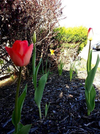 Tulips🌷 Tulips Tulip Red Flower Spring Flowers Spring2015 Spring Time Spring Into Spring Flowers Flowers,Plants & Garden