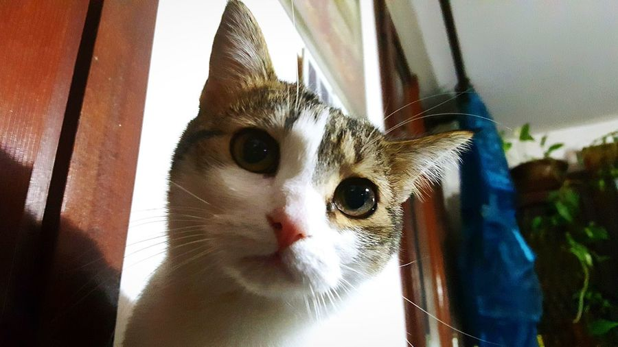 Looking At Camera One Animal Portrait Pets Domestic Animals Mammal Animal Themes Domestic Cat Window Indoors  No People Feline Close-up Animals Cat Cats Of EyeEm Cat Lovers