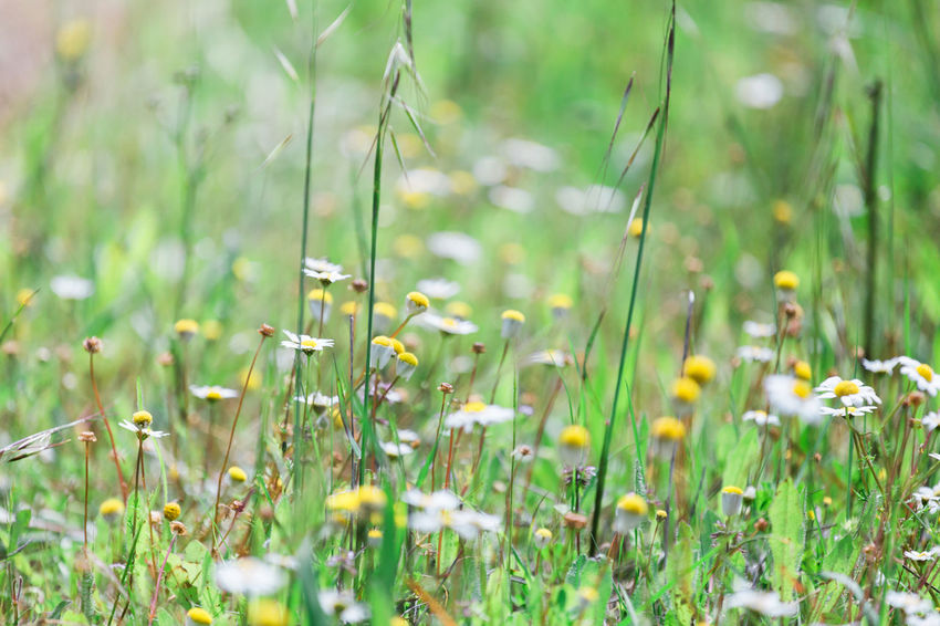 Beauty In Nature Blade Of Grass Close-up Day Field Flower Flowering Plant Fragility Freshness Grass Green Color Growth Land Nature No People Outdoors Plant Selective Focus Spring Tranquility Vulnerability  Yellow