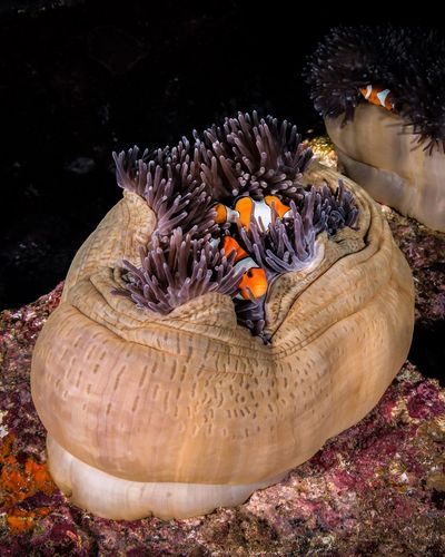 Anemone Anemone Fish SCUBA Scuba Diving Underwater underwater photography Animals In The Wild Animal Animal Wildlife Animal Themes No People Nature Water Sea Life Outdoors Invertebrate Sea Ecosystem  Beauty In Nature Marine