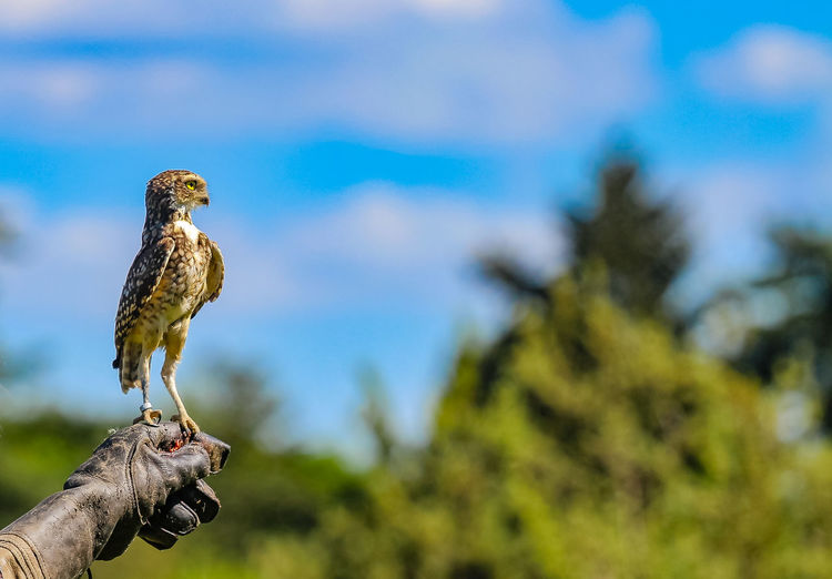 Cropped Image Of Falconry Holding Little Owl Against Sky