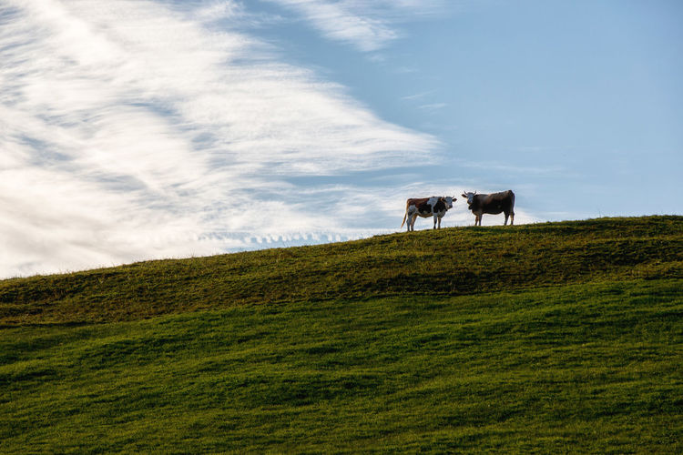 Cows Sky Mammal Livestock Domestic Animals Animal Themes Animal Domestic Grass Pets Plant Vertebrate Land Cloud - Sky Field Landscape Cattle Group Of Animals Environment No People Nature Herbivorous Outdoors Switzerland