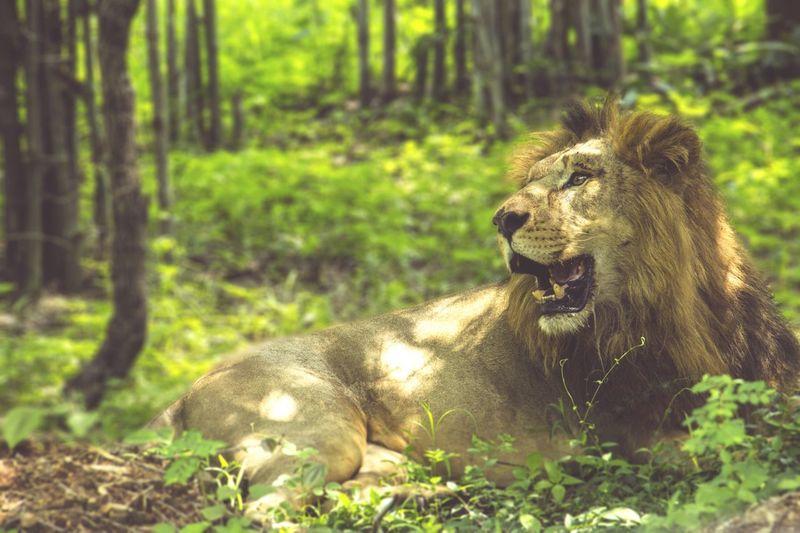 National gir Wildlife & Nature Wildlife Photography Beautiful Day Lion Incredible India Travel TheMoment-2015EyeEmAwards Theadventuretime Namabengaluru Bengaluru